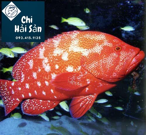 cá song đỏ