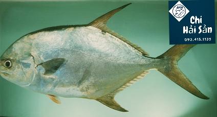Con cá khế giá sỉ