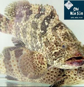 cá bống mú