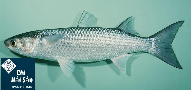 cá đói