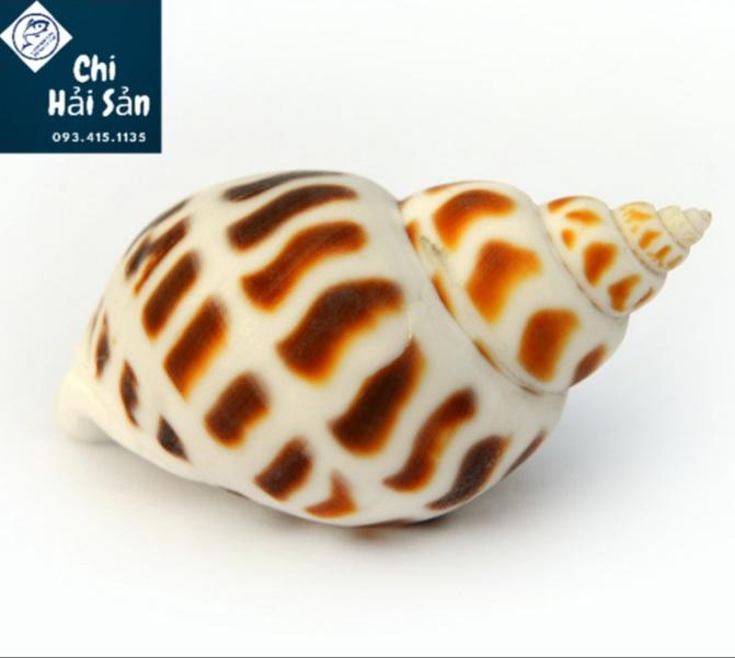 Con ốc hương biển