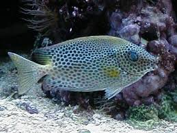 cá dìa bông