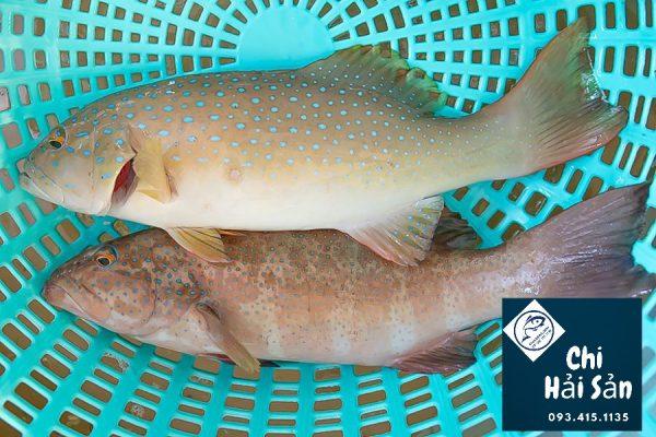 cá mú sao xanh tại vựa hải sản quận 1 - 3- 5 -7 nội thành