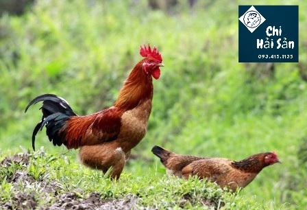 Hình ảnh gà ta thả vườn