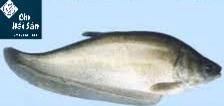 Hình ảnh cá thác lác
