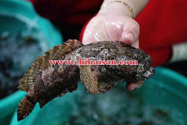 Cá mao ếch