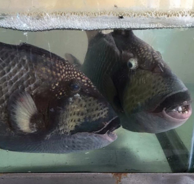 cá bò biển