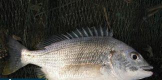 Cá hanh biẻn
