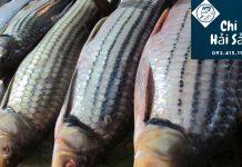 cá sọc dưa