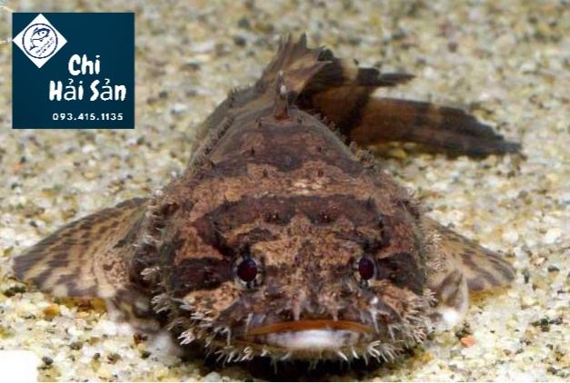 Cá mặt quỷ sống, còn bơi