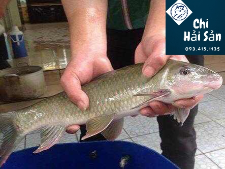 Dòng cá Phú Thọ và Tây nguyên hơi giống nhau