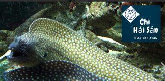 Cá chình biển