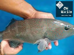 Cá mú sao xanh