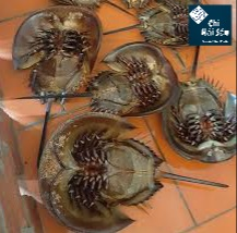 nguồn sam biển thu mua từ Nha trang